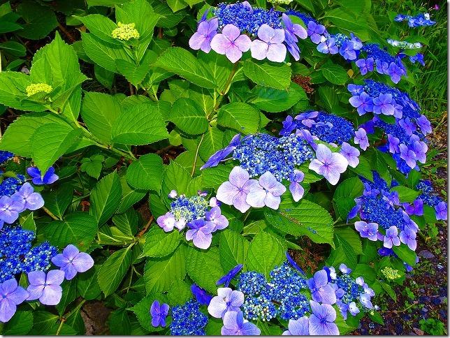 蔵王温泉 紫陽花