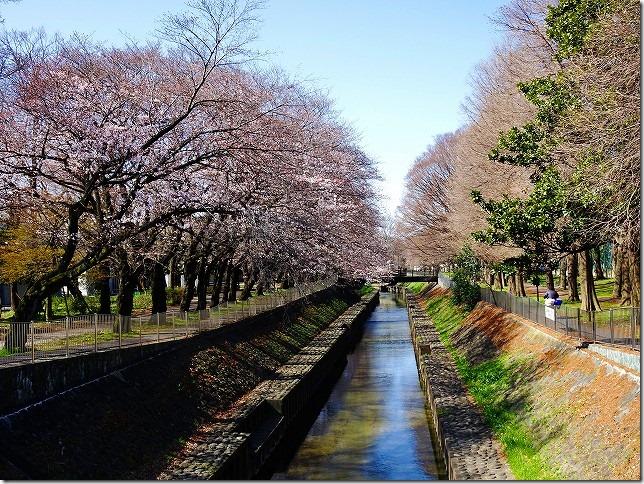 2016年 善福寺川緑地 桜 東京都 杉並区