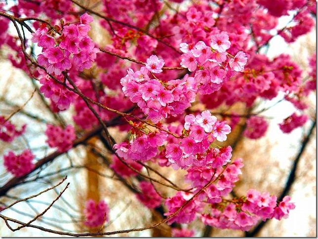 善福寺川緑地 桜(東京都 杉並区)