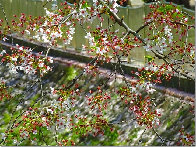 善福寺川緑地(東京都 杉並区) 桜