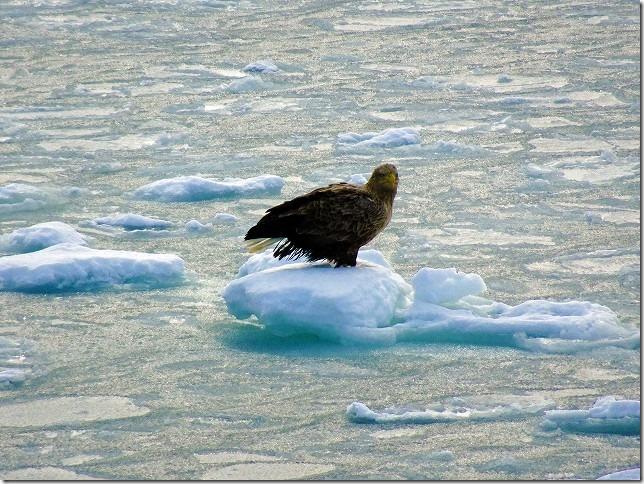 流氷観光船 オーロラ号 オジロワシ