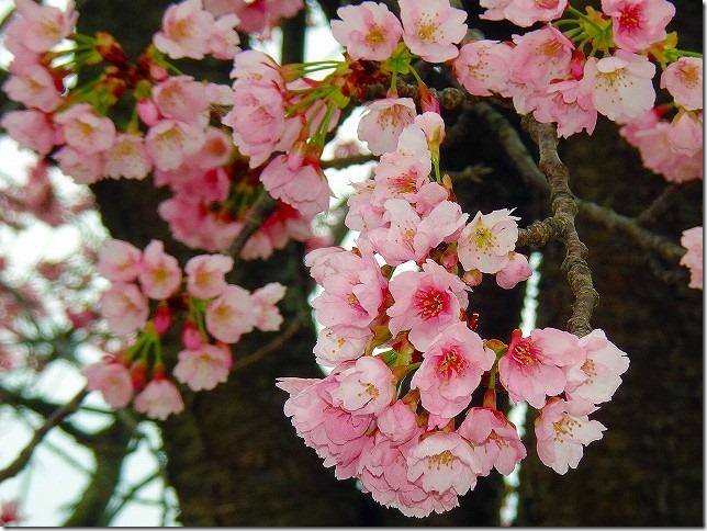 熱海海岸 桜