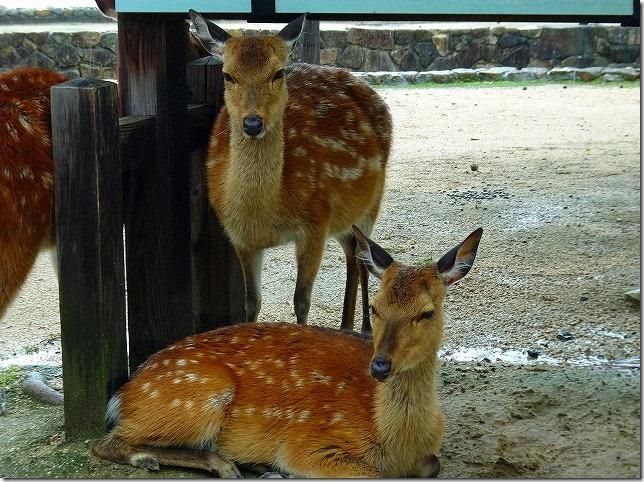 宮島(嚴島) 鹿