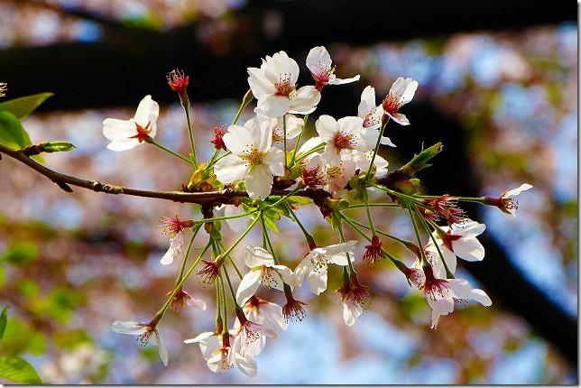 20019年 善福寺川緑地(東京都 杉並区)桜